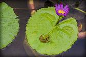 ヒキガエルのユリのパッド — ストック写真