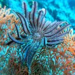Stock Photo: Sefand feather star
