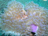 Pink Anemone Fish — Stock Photo