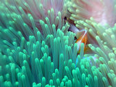 Pink anemonefish — Stock Photo