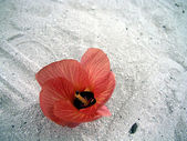 Hibiscus on beach — Stock Photo