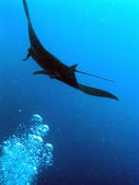 Manta in Palau — Stock Photo