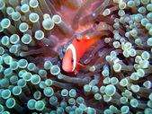 Tomato anemonefish — Stock Photo