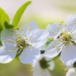 Stock Photo: Two cherry blossom close-up
