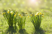 Blooming daffodils on the lawn — Stock Photo