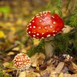 Red mushroom in the woods among leaves — Stock Photo