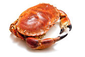 Edible brown crab isolated on a white studio background. — 图库照片