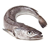 European Hake fish-Merluccius — Stock Photo