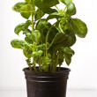 Hydroponic green spinach - Stock Photo