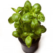 Hydroponic green spinach — Stock Photo
