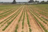 Potato field in spring. — Foto de Stock