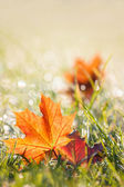 Autumn maple leaves in the dewy grass — Stock Photo