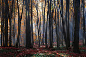 The rays of morning sun in autumn forest — Stock Photo