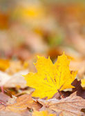 Maple leaf in autumn colors — Stock Photo