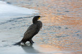 Cormorant in winter — Stock Photo