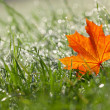 Stock Photo: Autumn maple leaf in the dewy grass