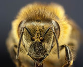 Close up bee — Stock Photo