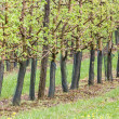Spring green orchard — Stock Photo #24907225