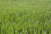 Spring wheat — Стоковое фото
