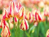 Yellow-red tulips — Stock Photo