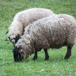 Sheep on pasture — Stock Photo #25527251