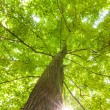 Green leaves of beech — Stockfoto