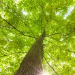 Green leaves of beech — Stock Photo