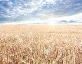Ripened grain — Stock Photo