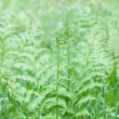 Bracken — Stock Photo #30345657