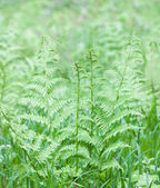 Bracken — Stock Photo