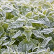 White frost on the leaves of nettles — Stock Photo