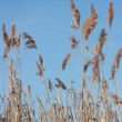 Reed — Stock Photo #37050477