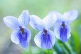 バイオレットの香り — ストック写真
