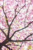 Cherry blossoms — Fotografia Stock