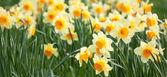 Narcisi gialli — Foto Stock