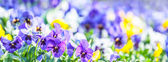 Bright colors of pansies — Stock Photo
