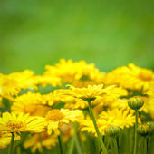 Yellow flowers on a green background — Stock Photo