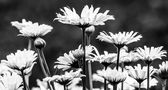 Fleurs blanches sur fond noir — Photo