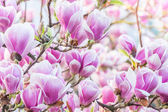 Pink flower magnolia — Stock Photo