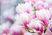Pink flower magnolia — Zdjęcie stockowe