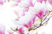 Pink flower magnolia — Stock Photo