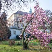 Magnolia bush in bloom before the castle kromeriz — Zdjęcie stockowe