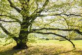 Jarní buk — Stock fotografie