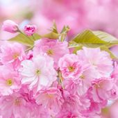 Cherries blossom tree — Stock Photo