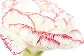 Carnation — Stockfoto