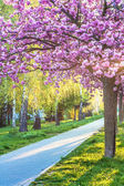 Pink cherry blossom — Stock Photo