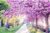 Flor de cerezo rosa — Foto de Stock
