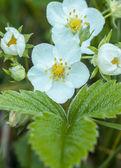 Kwiat poziomka — Zdjęcie stockowe