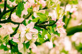 Flowers  apple — Stockfoto