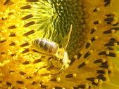 Bee on sunflower — Stock Photo